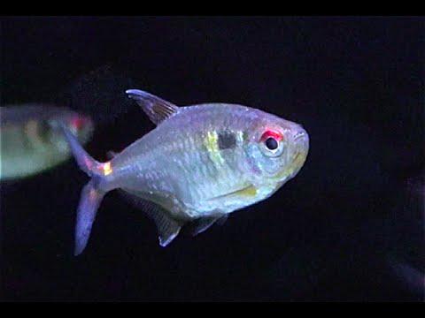 ヘッドアンドテールライトテトラ beacon fish head and taillight tetra