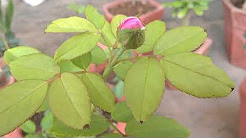 ROSE PLANT SEASON TO GROW IN INDIA