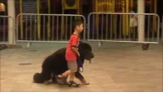 Singapore's Youngest Dog Trainer - Isaac Loves Big Dogs