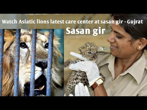 आपने कभी जंगली जानवरो की अस्पताल देखी है? Watch Asiatic lions care center. Sasan gir
