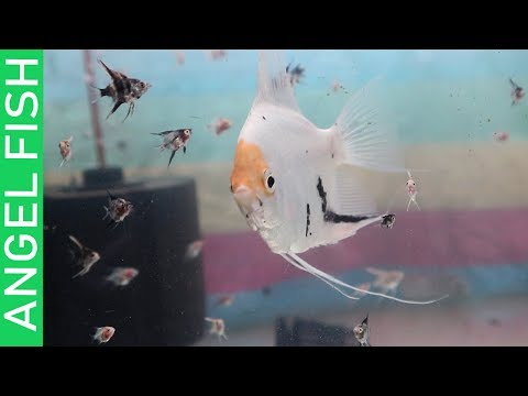 BUYING 100 ANGEL FISH AND TIPS ON MASSIVE DISCUS BREEDING!