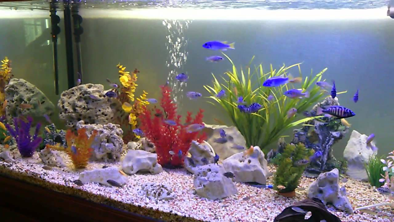 aquarium 1000 litres cichlides youtube. Black Bedroom Furniture Sets. Home Design Ideas