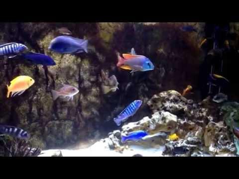AulonoHaprican NuAlgi dose#2 ~Mixed African 120gal Aquarium