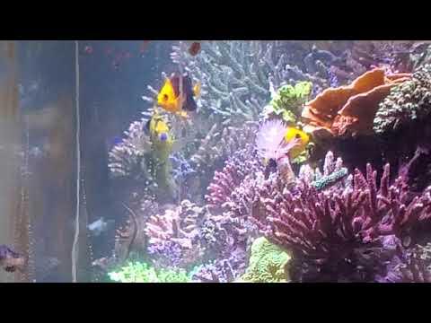 O2manyfish- Most Expensive Fish Food Ever!!! (Joculator And Goldfake Angels Spawning Together)