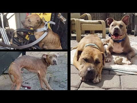 Two Discarded Pitbulls Find Their Happily Ever After | New York Bully Crew