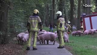 Varkens omgekomen bij ongeluk met vrachtwagen in Ommen