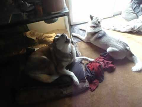 Thunder the lazy howling husky and his Minions