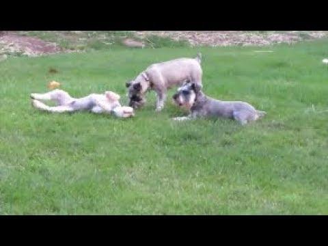 Happy Schnauzers | Dog Mom Life