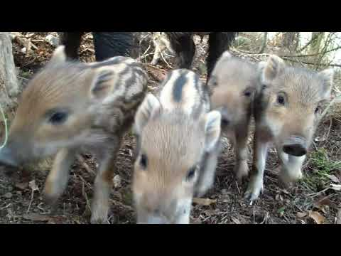 Wild boar Žofia and her 8 piglets