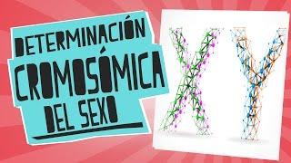 Determinación cromosómica del sexo: ¿XX o XY? - Biología - Educatina