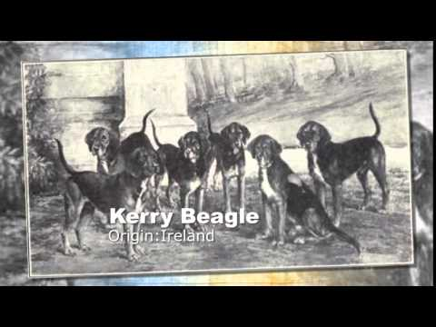 Kerry Beagle Dog Breed