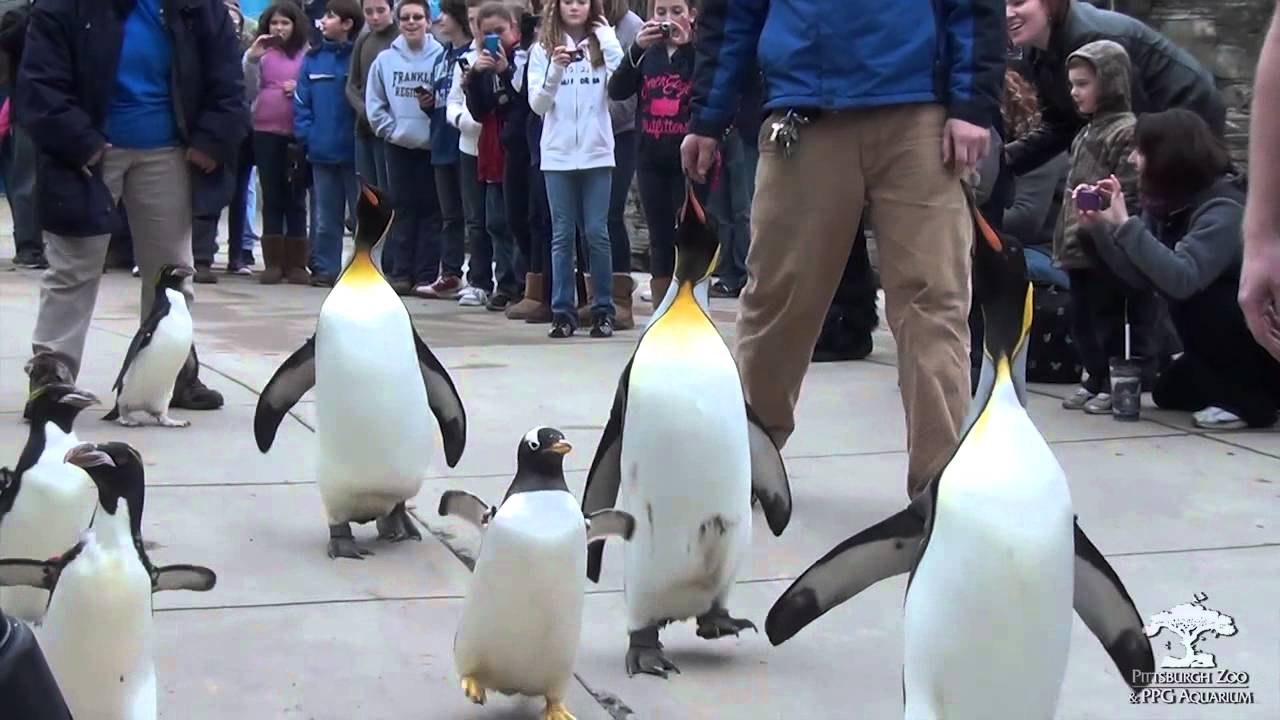Penguin Parade at the Pittsburgh Zoo & PPG Aquarium - YouTube