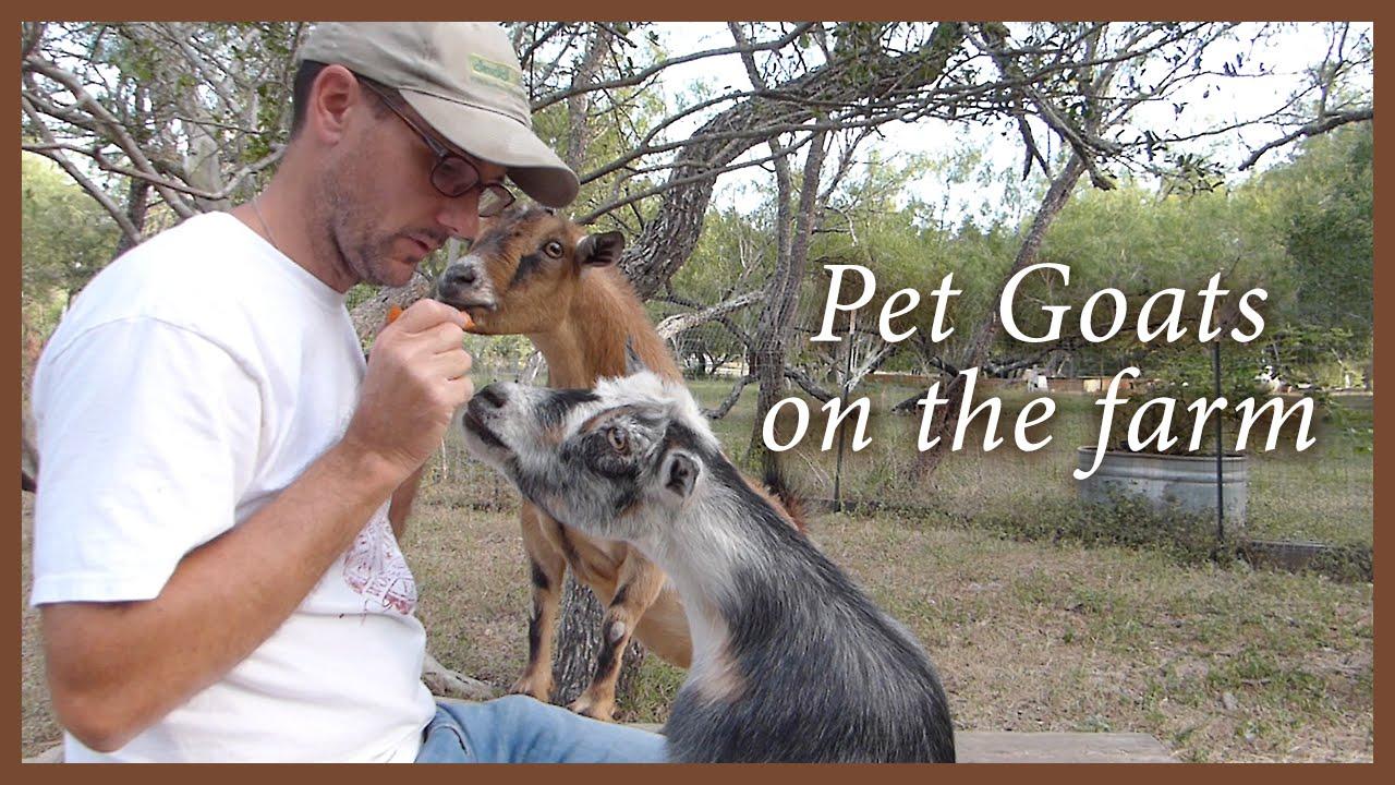 R Goats Good Pets Pet Goats - Lov...