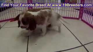 Cavalier King Charles Spaniel, Puppies, For, Sale, in, Mobile, County, Alabama, AL, Huntsville, Morg