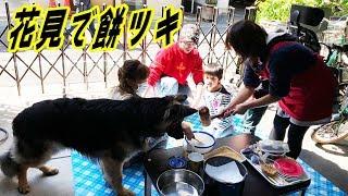 花見餅つき大会シェパード犬も参加で楽しむGerman Shepherd dog