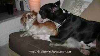 Promotie Bullterrier Forum