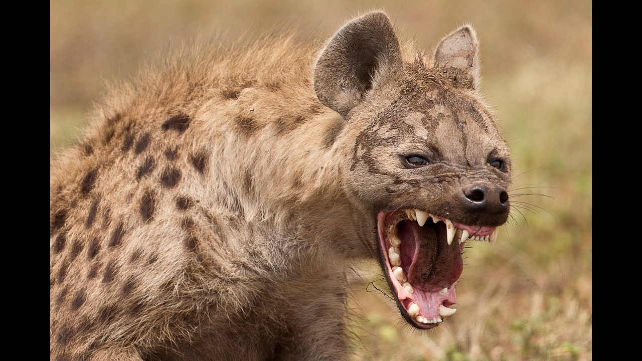 Top 10 Interesting facts about Hyenas - YouTube