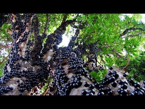 Jabuticaba - The Brazilian Grape Tree(It Grows Fruits & Flowers Directly on The Trunk)