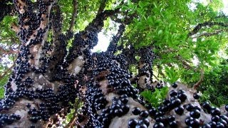 Jabuticaba - The Brazilian Grape Tree(It Grows Fruits & Flowers Directly on The Trunk) thumbnail