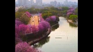 Цветение китайского багрянника в городе Лючжоу