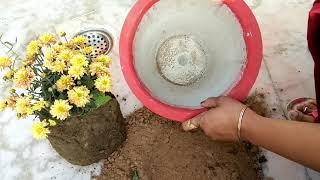 नर्सरी वाले गुलदाउदी के पौधे को ऐसे रिपोट करें, how to report guldaudi plant,anvesha,s creativity
