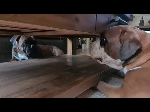 hilarious-argument-between-two-cute-boxers-under-the-table!-😂😂😂-talking-dogs!!!-happy-ending!-😍