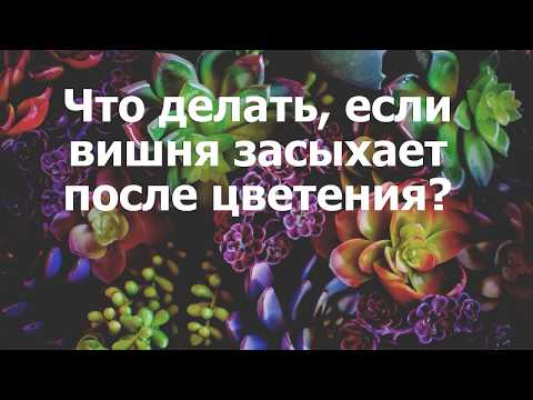 Вопрос: Почему на вишне после цветения вянут и засыхают веточки Что делать?