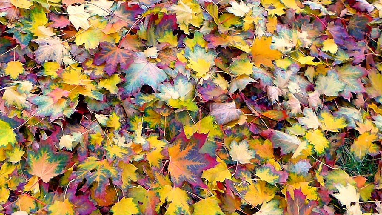 Футаж Ковер из Листьев. Ковер из Осенних Листьев. Осенние футажи. Футажи для видеомонтажа