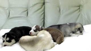 2010年1月3日生まれのシベリアンハスキーの子犬です。 http://wanboh.ne...