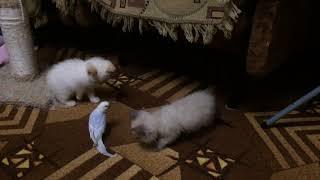 Бесстрашный попугай. Шок. Наказал котят.