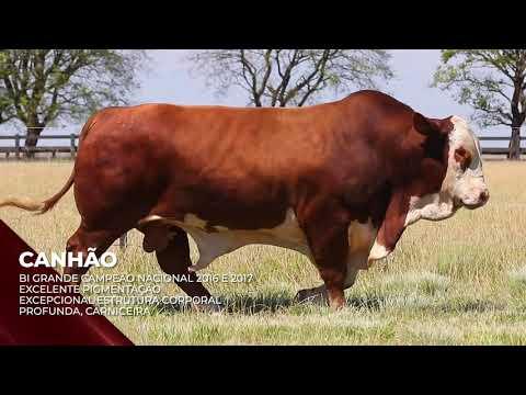 Touro Canhão - Braford indicado para IATF - RENASCER BIOTECNOLOGIA VIDEO