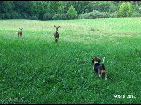 Skyview's Beagles Pleasure Run With Deer July 19 2011.mpg