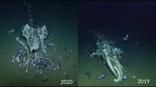 Return to the Davidson Seamount Whale Fall   Nautilus Live