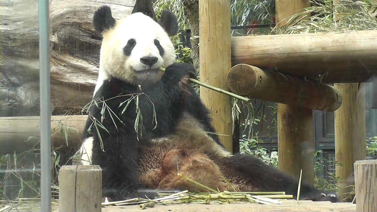panda at ueno zoo  uff5e  u30d1 u30f3 u30c0  u4e0a u91ce u52d5 u7269 u5712