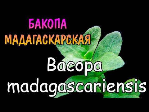 РЕДКАЯ БАКОПА МАДАГАСКАРСКАЯ. СОДЕРЖАНИЕ И РАЗВЕДЕНИЕ. Bacopa madagascariensis