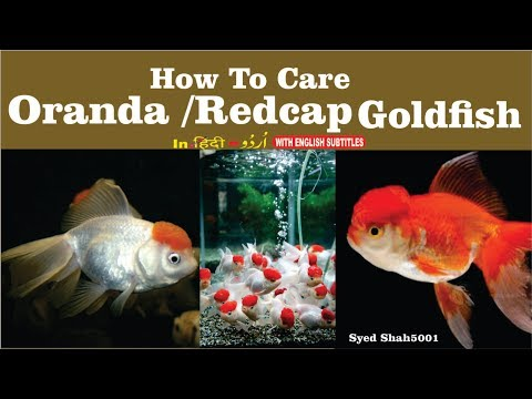 How to care oranda goldfish redcap oranda fish care  basic info  Hindi Urdu with English subtitles