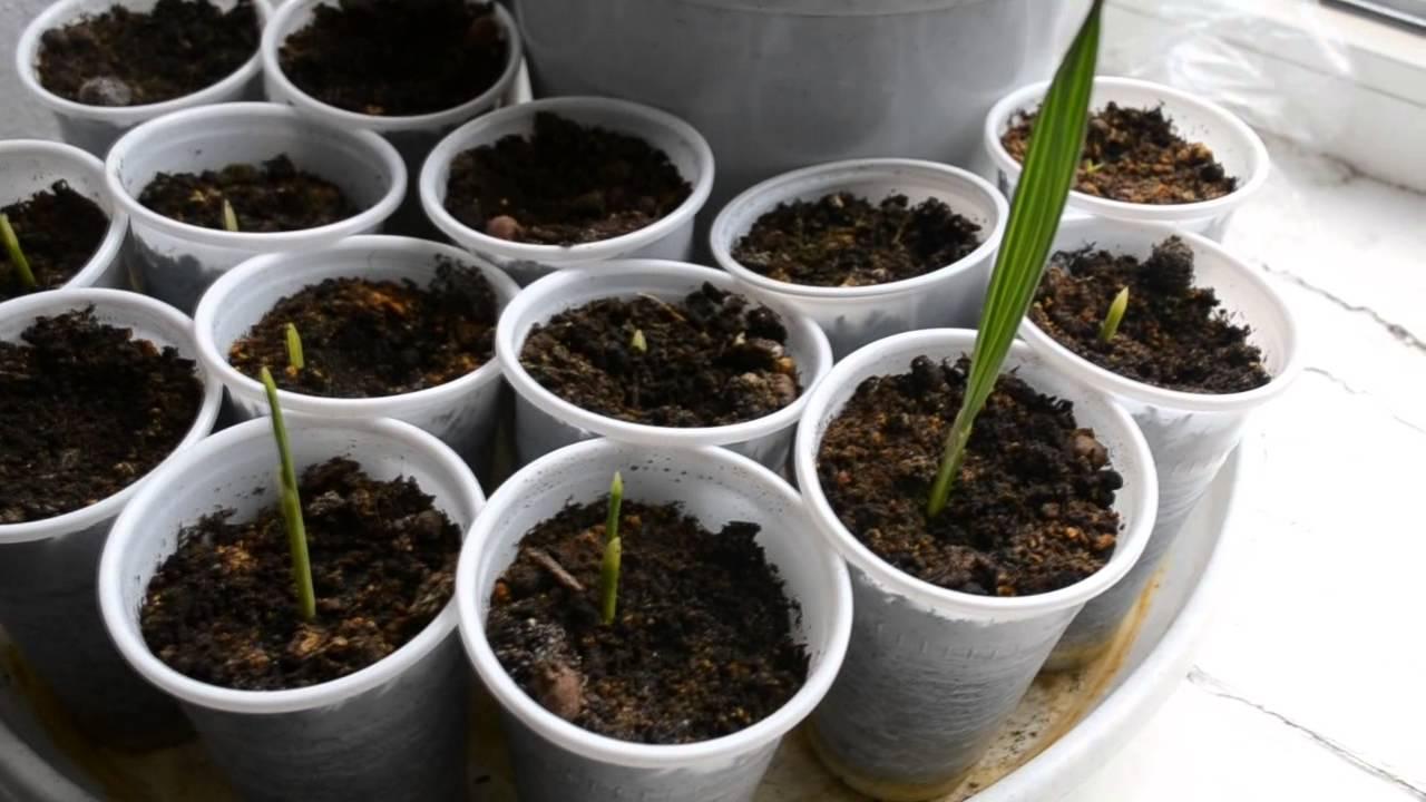 Финик из косточки.Финиковая пальма,уход, выращивание, легко и просто, простые правила.