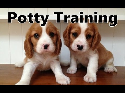 How To Potty Train A Beaglier Puppy Beaglier House Training Tips