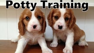How To Potty Train A Beaglier Puppy - Beaglier House Training Tips - Housebreaking Beaglier Puppies