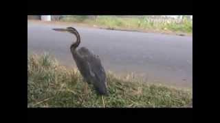 Lahan Sawah Kekeringan, Petani Di Mura Beralih Berjualan Burung Bangau