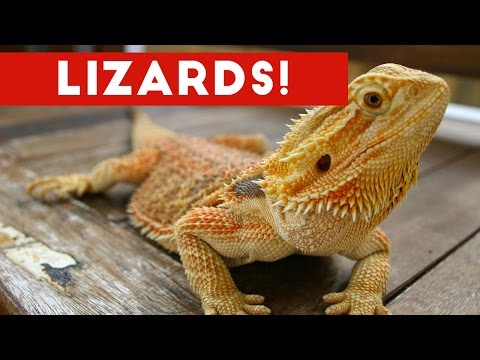 Funniest Lizard & Reptile Blooper & Reaction Videos of 2017 Weekly Compilation | Funny Pet Videos