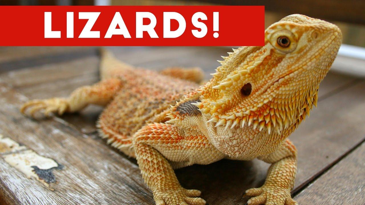 Funniest Lizard & Reptile Blooper & Reaction Videos of ...