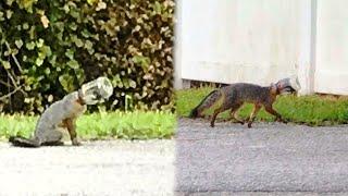 Люди заметили лисенка, бегающего по городу с банкой на голове