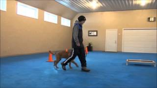 Spencer (labrador Retriever) Boot Camp Dog Training Video