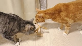"""the red tabby cat """" Chai """" and the silver tabby cat """" Sushi """" were ..."""