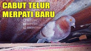 CABUT TELUR MERPATI BARU # MERPATIKU