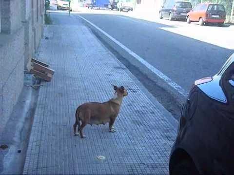 áspero perra bailando en Vigo