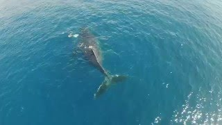 Mother and new born baby humpback whale , Maui Hawaii. filmed by drone.