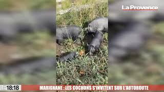Marignane : les cochons s'invite sur l'autoroute