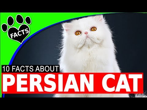 Persian Cats 101 Fun Interesting Facts Most Popular Cat Breed #persian